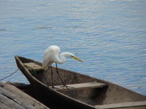 egret peru