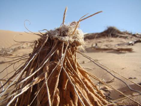Wind-blown Roots in the Empty Quarter