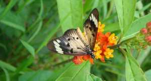 madagascar butterfly