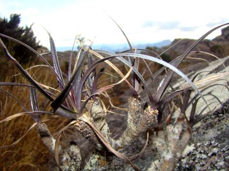 Mountain plant in Madagascar at 1800m