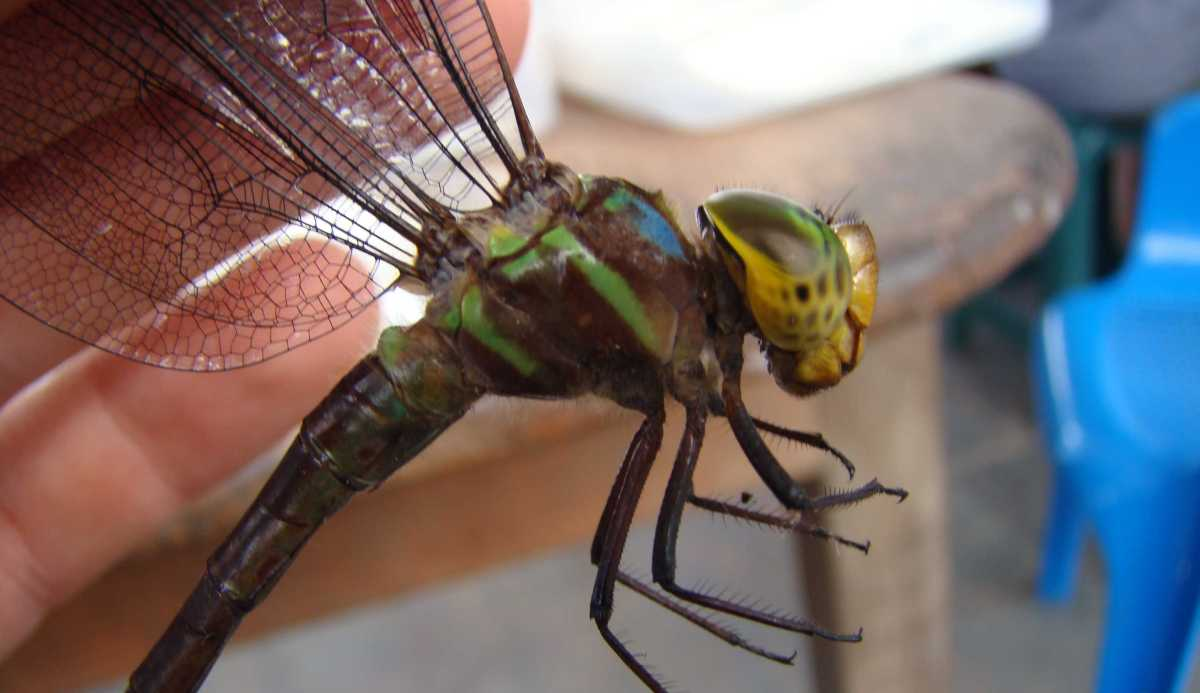 Why Dragonflies?