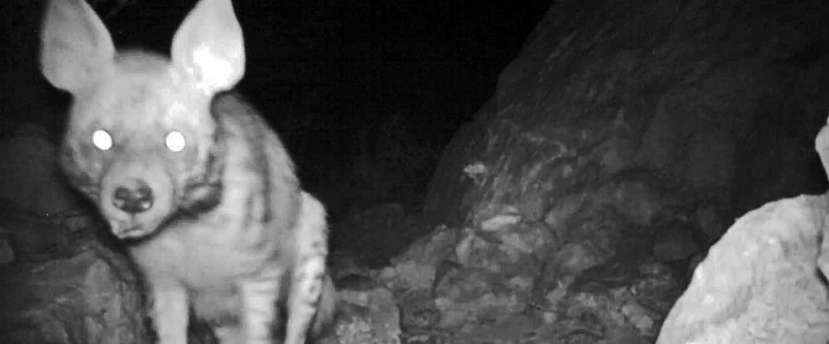 Arabian Leopard Camera Trap Footage