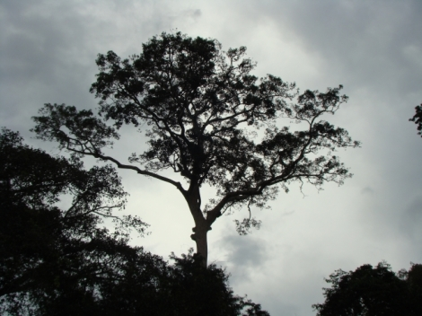 Emergent Tree Amazon