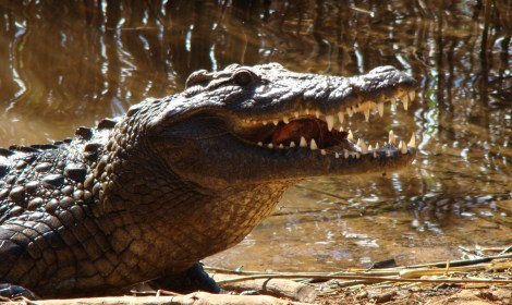 safari croc