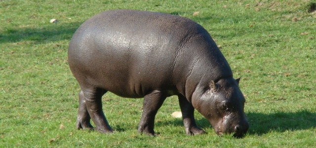 A hippo is eating grass