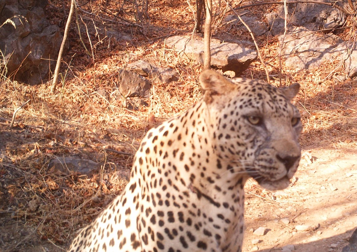 2013 Arabian Leopard Camera Trap Photos