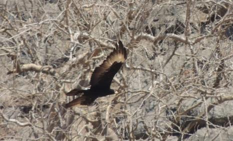 Verraux's Eagle