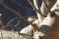 Arabian Warbler