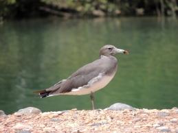 Sooty Gull
