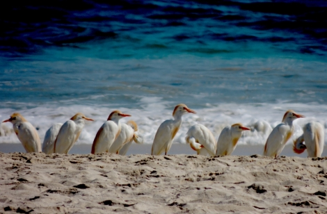 Galapagos Cattle Egrets