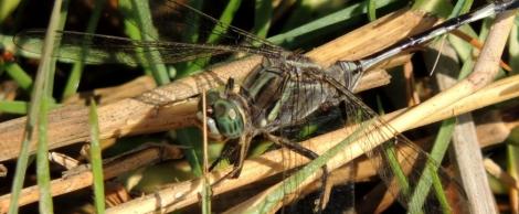arabian dragonflies lawrence