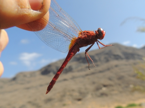 arabian dragonflies