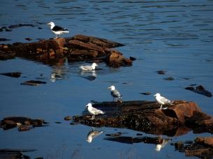 Mixed Gull Flock - Greater Black-backed Gull, Herring Gull
