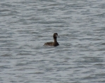 Scaup