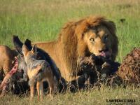 Lion Jackal