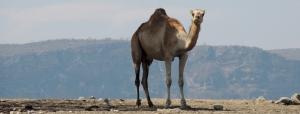 lawrence camel