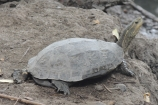 Caspian Turtle