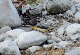 Grey Wagtail (female)