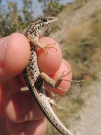 rock lizard species